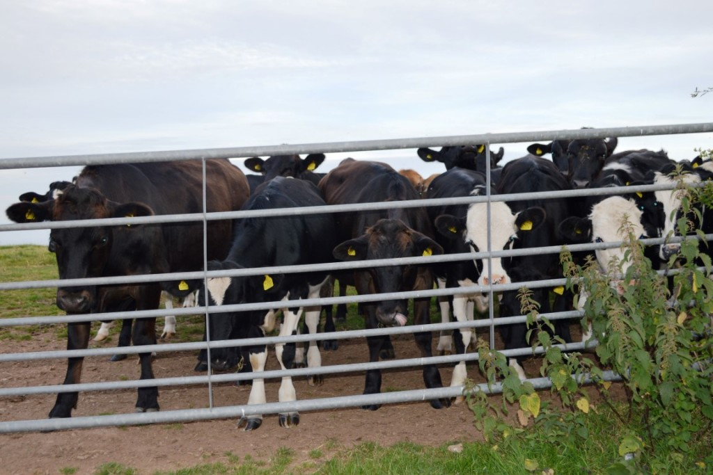 Cows in Devon