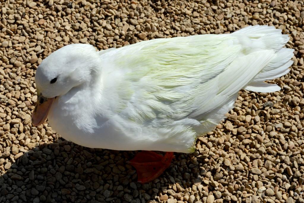St James City Farm, Gloucester, animals, ducks
