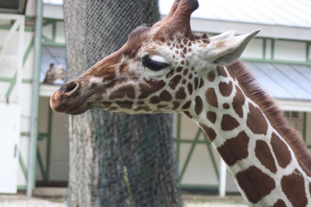 Amsterdam Zoo, Amsterdam, Giraffe