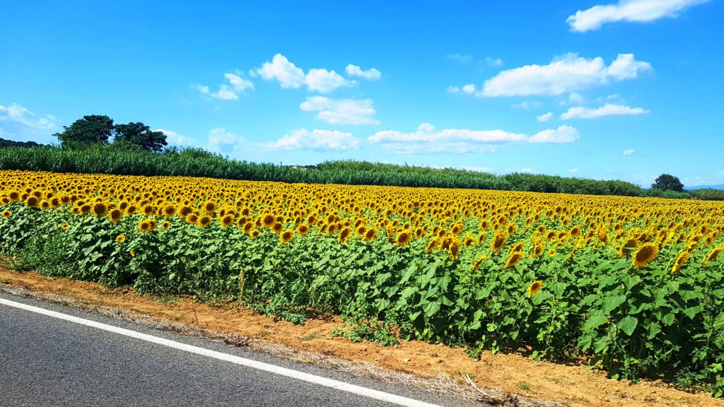 sunflower fields, fields, sunflowers, fields of sunflowers, spain, costa brava, girona